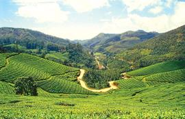 Go trekking in Munnar in the heart of tea country