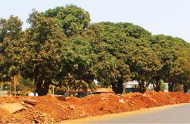 Goan village wants road and its six mango trees too